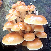 honey fungus