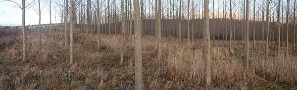 Poplar plantation