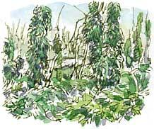 Ivy at Seckar Heath