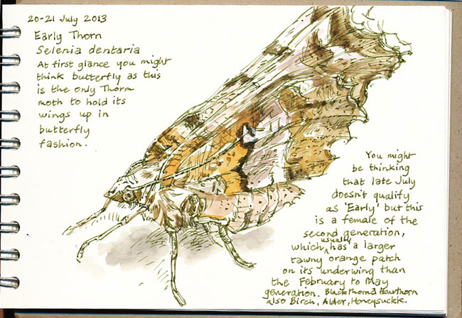 Drawn from my own photograph, which can be easier than peering into a bug box.