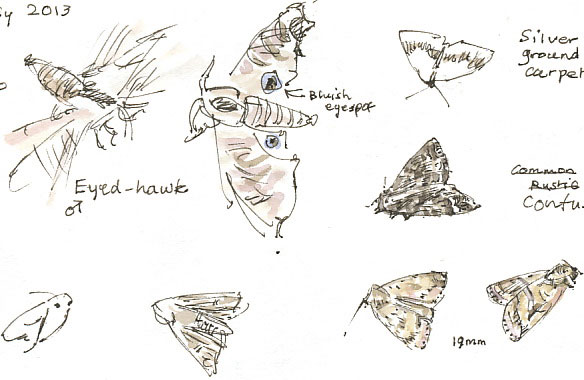 moth sketches
