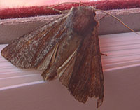 sooty moth