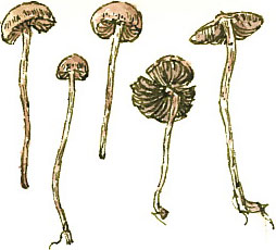 Drawing of the fungi
