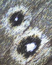 Eye-spots, Ringlet butterfly
