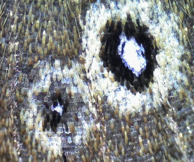 Ringlet butterfly, Aphantopos hyperantus