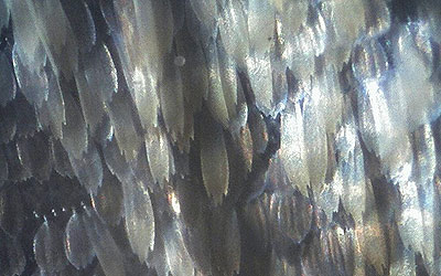Wing scales taken at 200x.