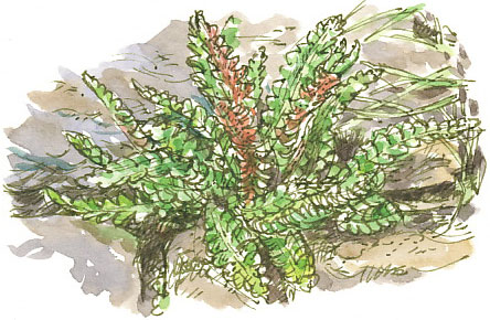 rusty-back fern, Ceterach officinarum