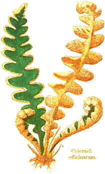 Rusty-back or Scale fern, drawn by W.W. Coleman, British Ferns, 1861.