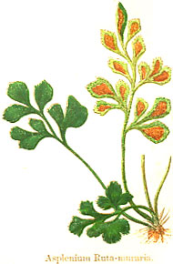 Wall Rue, British Ferns, 1861