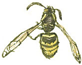The tree wasp has two small yellow spots on the rear of its thorax.