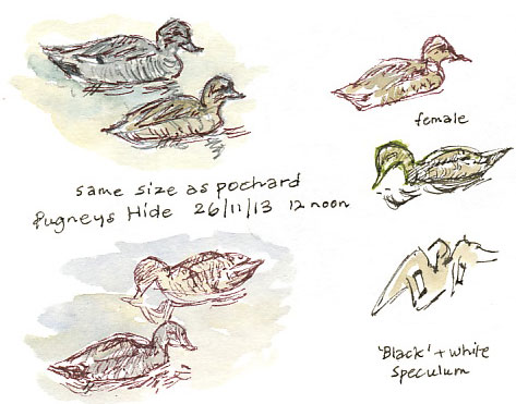 gadwall sketches