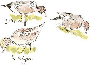 wigeons grazing