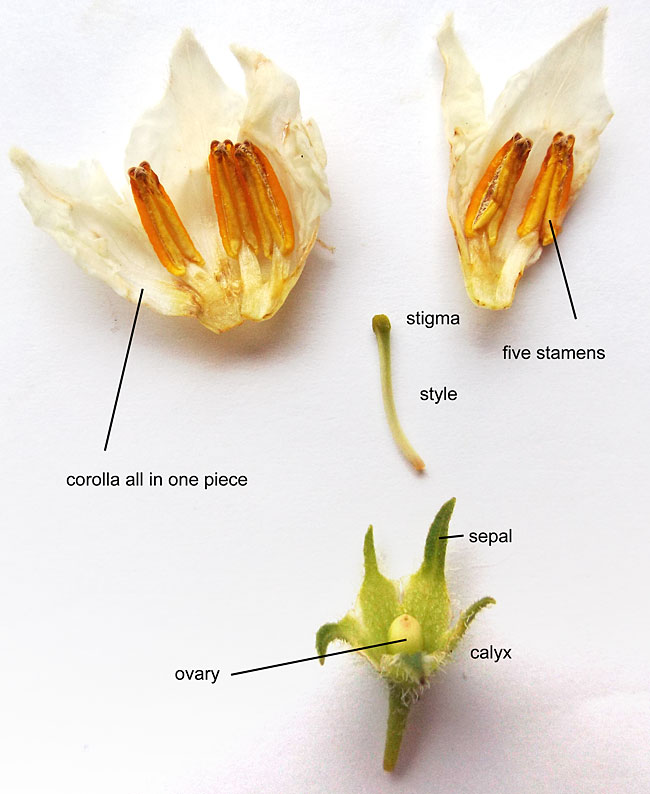 potato flower parts