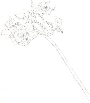 potato flowers in pencil