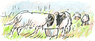 head-butting sheep