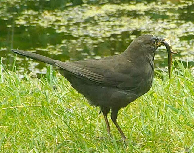 blackbird with newt