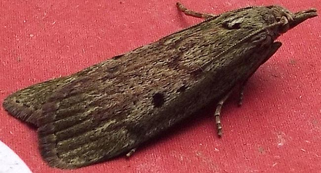 Bee moths are a little under 2 centimetres long. I think this is a female.