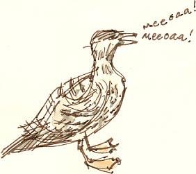 gull calling