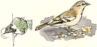 Female chaffinch and great tit, Riverlife Cafe, Bamford.