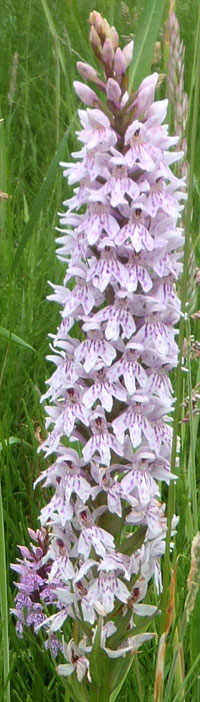 Could this be a hybrid between a common spotted and a marsh orchid?