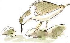 sandpiper feeding