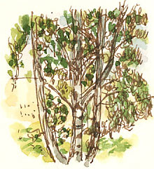 Silver birch, drawn as we had a late lunch at the Seed Room, Overton.