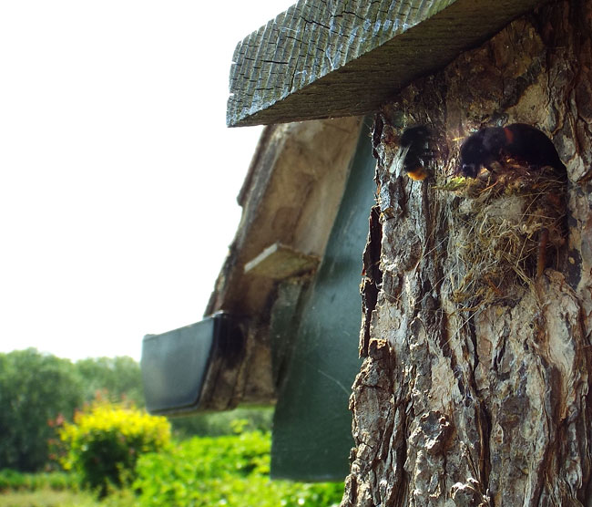 Red-tailed bees at nest hole