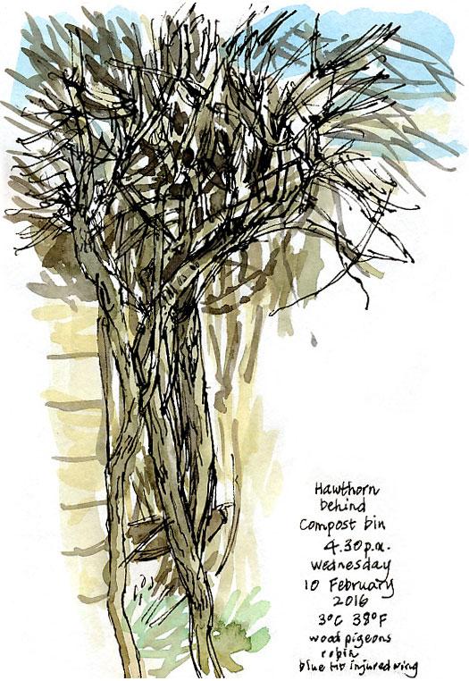 hawthorn stems