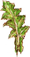sow-thistle leaf