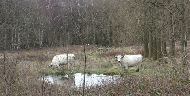 white cattle