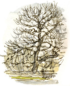 Oak at the corner of the car park, Cannon Hall (pen and watercolour).