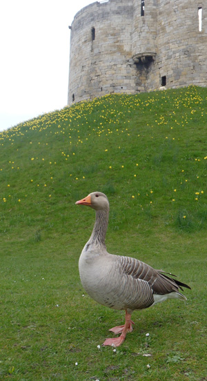 Greylag goose at Clifford's Tower.
