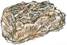 club moss fossil