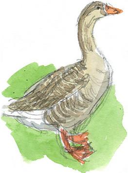 farmyard goose