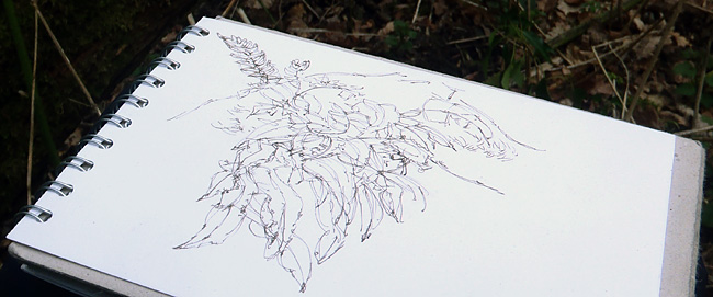 polypody sketch