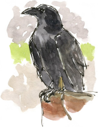 Captive raven at Knaresborough Castle drawn earlier this year.