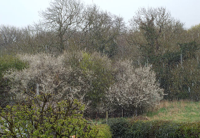 Not quite a blackthorn winter: a passing hail shower whitens the ground but as hail turns to sleet and rain it soon melts away.