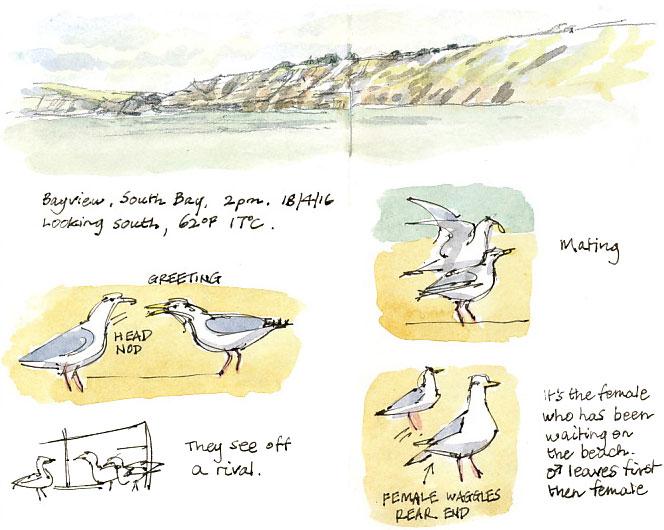 gulls mating