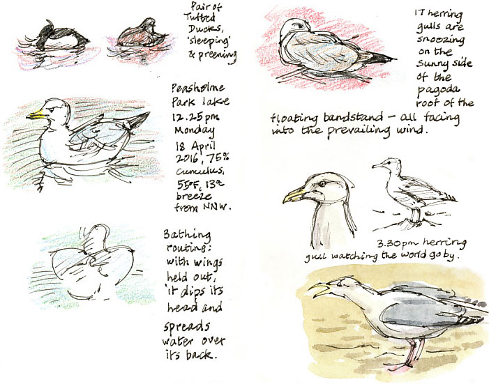 gulls and tufted duck