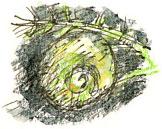 ramshorn snail