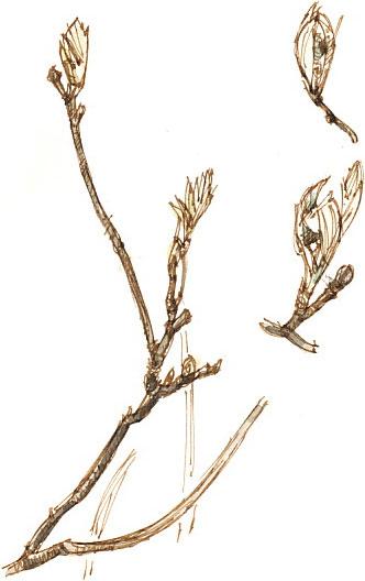 rowan buds