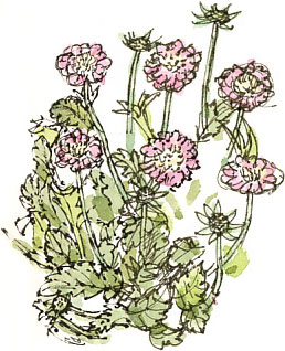 scabious0416