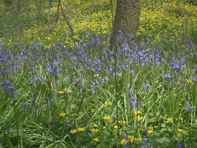 Bluebells and lesser celandine.