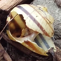 brown lipped snail shell