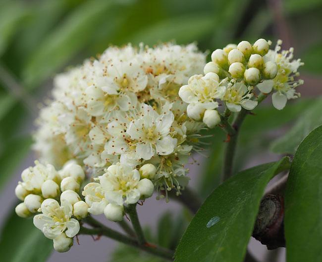 Rowan blossom.