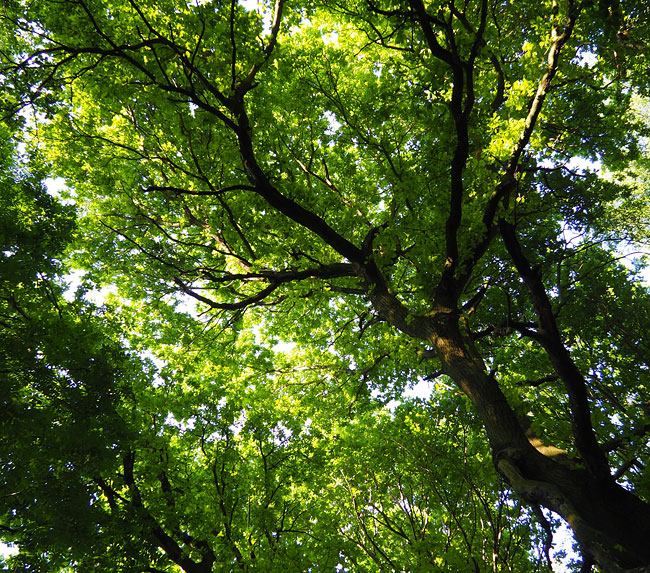 Tree canopy: sessile oak.