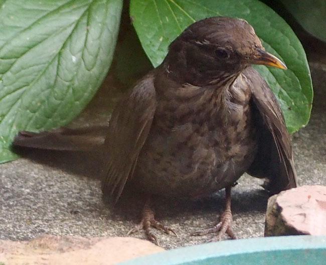 blakbird