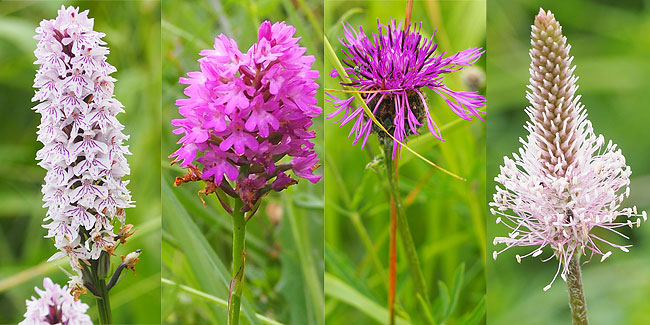 Hybrid orchid, pyramidal orchid, greater knapweed, hoary plantain.