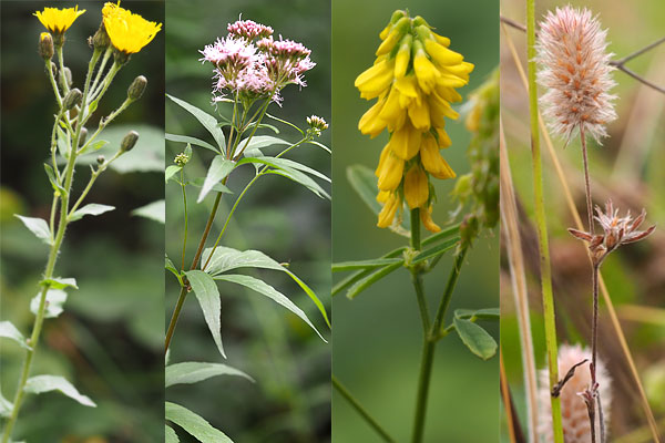 A leafy stemmed hawkweed, common valerian, ribbed melilot and hare's-foot clover.