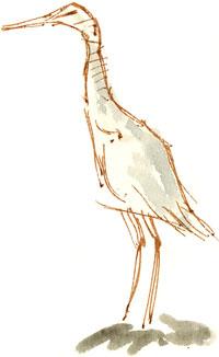 juvenile heron